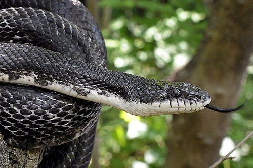Ular Black Rat Snake