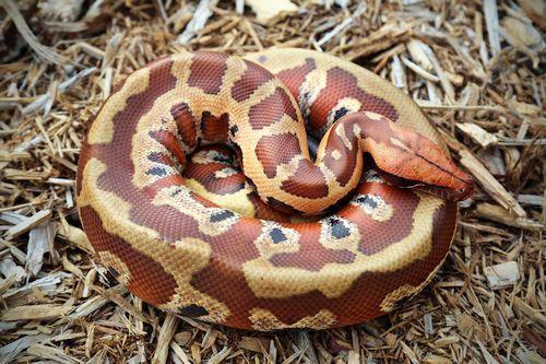 Ular Blood Python