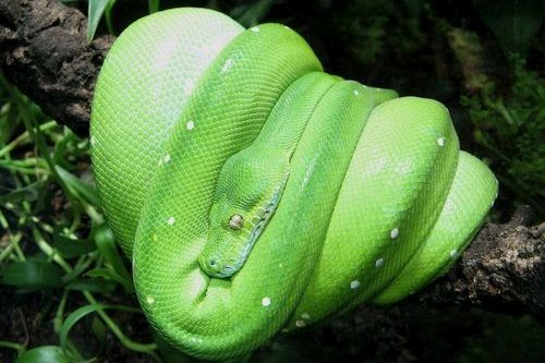 Ular Green Tree Python