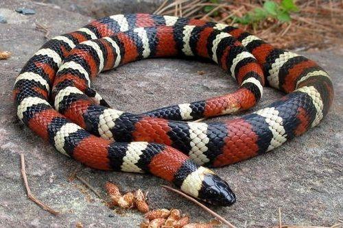 Ular King Snake