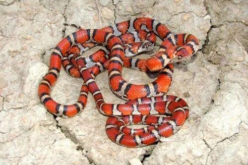Ular Milk Snake