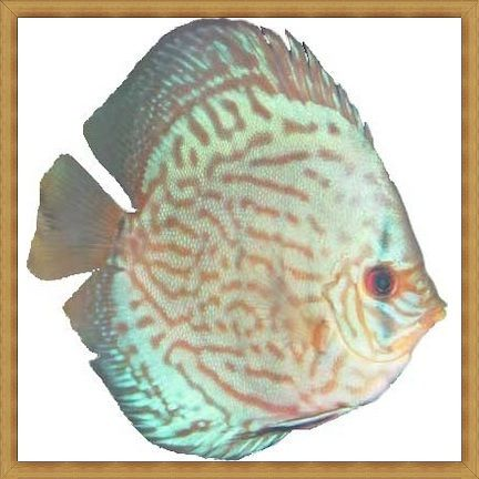 Violet Reflection Discus