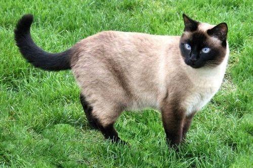 Warna kucing Siam