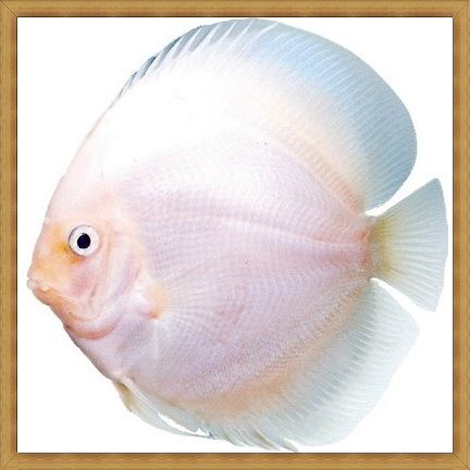 White Diamonds Discus