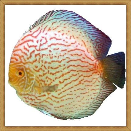 White Dragon Discus