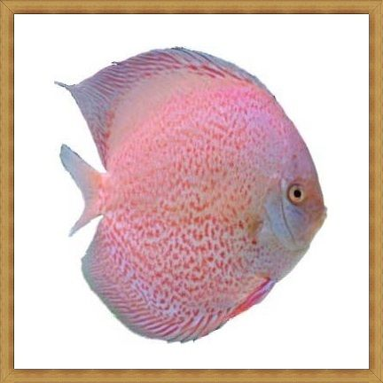 White Eruption Discus