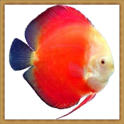 White Face Marlboro Red Discus