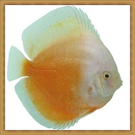 Yellow White Discus