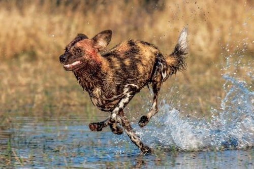 African Wild Dog lari
