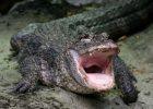 Aligator China