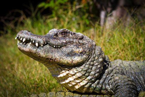 Aligator Tiongkok