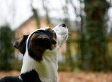 Anjing Asma