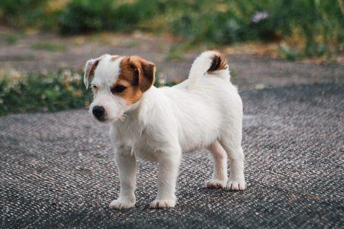 Anjing Jack Russel Terrier