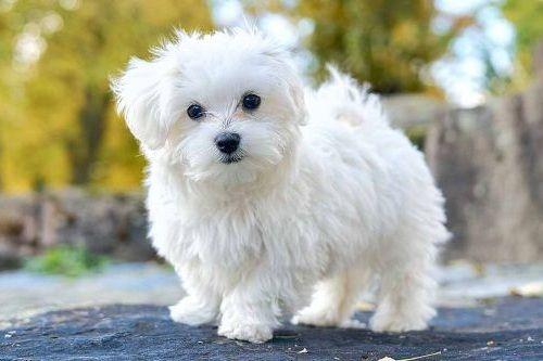 Anjing Maltese