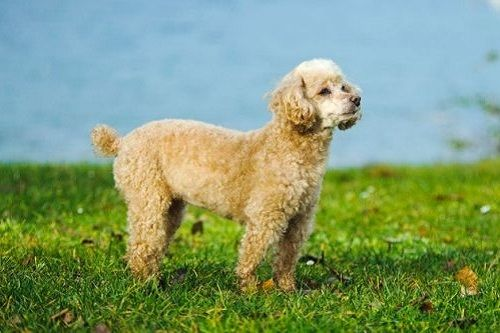 Anjing Toy Poodle
