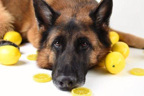 Anjing dan jeruk