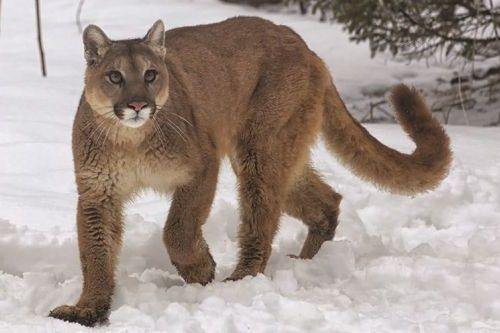 Binatang cougar