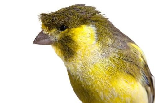 Burung Kenari Lucu