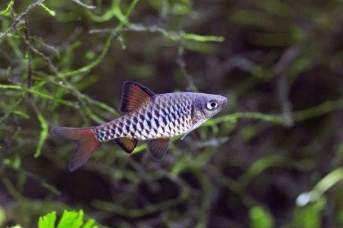 6 Jenis Ikan Barb Paling Populer Untuk Dipelihara Gerava Ikan Hias Burung Kicau Kucing Anjing