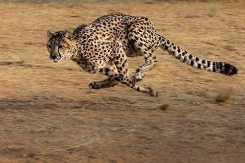 Cheetah lari