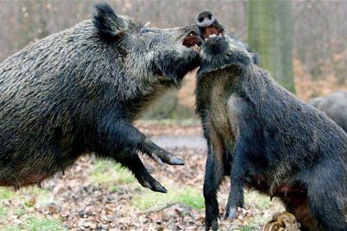 corona omed-omedan pertarungan babi hutan