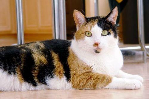 Ciri-ciri Kucing Betina