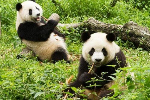 Ciri-ciri Panda Raksasa