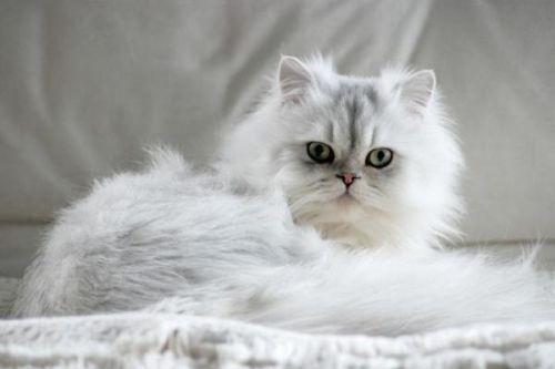 Ciri-ciri kucing Persia betina