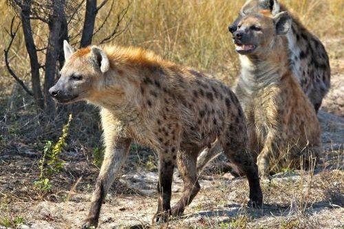 Ciri hyena tutul