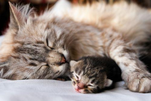 Ciri kucing akan melahirkan