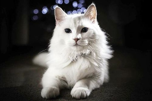 Fakta Kucing Angora