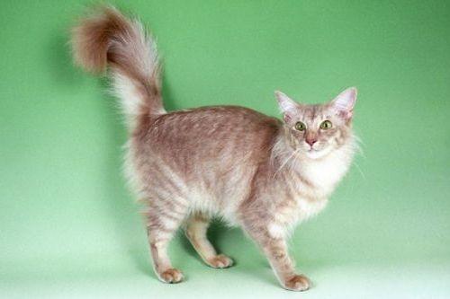 Foto Kucing Jawa