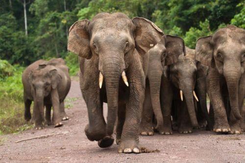 Gajah Kalimantan