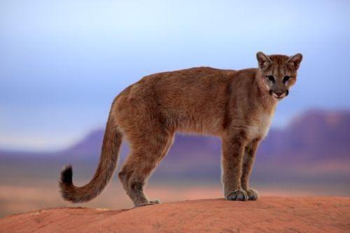 Gambar Cougar