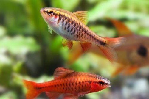 Gambar Ikan Cherry Barb