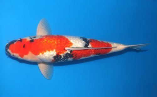 jenis Ikan Koi Ginrin
