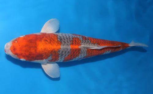 jenis Ikan Koi Goshiki
