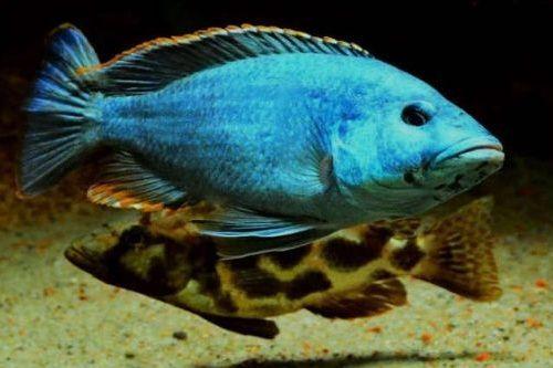 Gambar Ikan Livingstons Cichlid