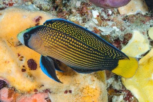 Manonichthys, Pseudochromidae, splendens