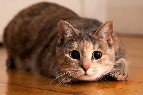 Gambar Kucing Betina