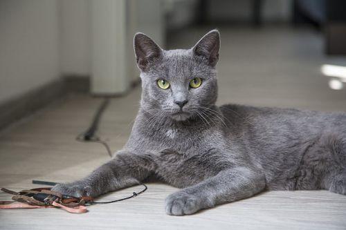 Gambar Kucing Korat