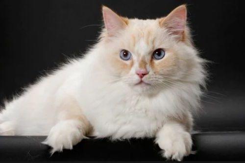 Gambar Kucing Ragamuffin Lucu Cantik