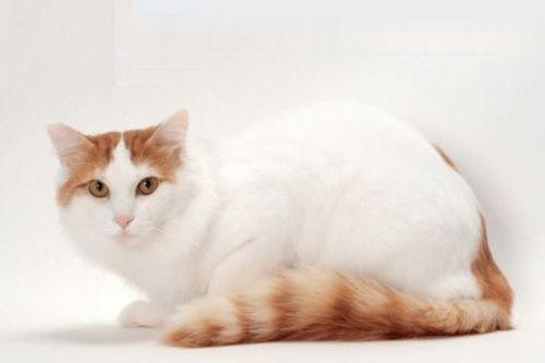 Gambar Kucing Turkish Van