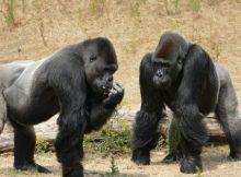 Gambar binatang gorila