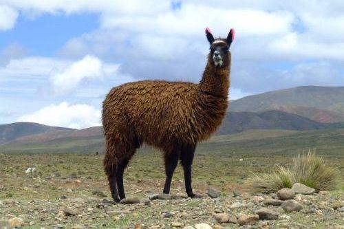Gambar binatang llama