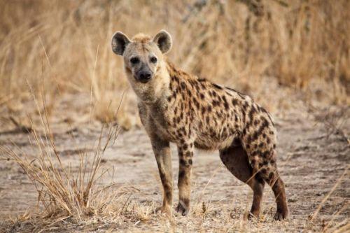 Gambar hyena tutul