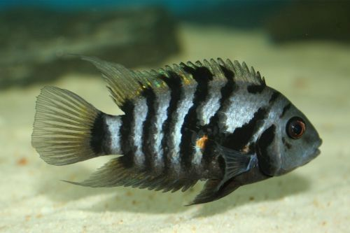 Gambar ikan convict cichlid 1