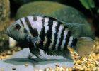 Gambar ikan convict cichlid 2