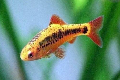 Gambar ikan golden barb