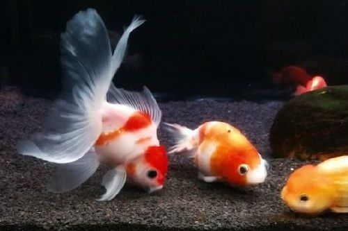 Apa Saja Makanan Ikan Mas Koki Berikut Daftar Lengkapnya Gerava Ikan Hias Burung Kicau Kucing Anjing